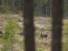 Älgko-Ovan-Björnarvet-2017-05-19-9896
