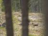 Älgko-Ovan-Björnarvet-2017-05-19-9906